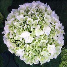 Hortensia ´Wudu®´ Belles boules de fleurs blanches qui deviennent rosées pour cet arbuste vigoureux.