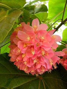 Dombeya Wallichii - Dombeya wallichii is a flowering shrub of the genus Dombeya, sometimes called the Pink-ball. Native to Madagascar. The flowers are fragrant, smelling like coconut.