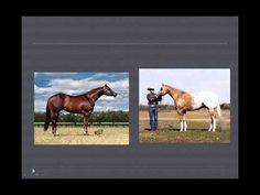 UNL Horse Judging: Conformation comparisions.mov