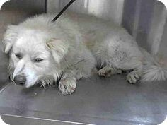 """((SUPER URGENT)) HIGH KILL SHELTER in Downey, CA - Meet """"Syn"""" a male Chow Chow/Collie Mix. No age given, but he looks like he might be a Senior boy. PLS HELP SAVE/RESCUE THIS SAD BEAUTIFUL BOY. ID#: 6719108-A4682563 http://www.adoptapet.com/pet/10432583-downey-california-chow-chow-mix"""