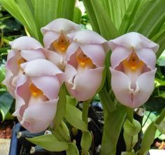 anguloa uniflora orchid | This genus is found on the forest floor at high elevations
