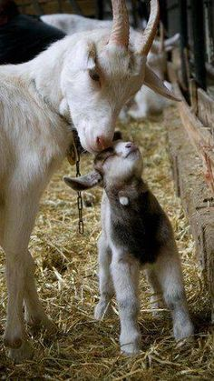 Goat mother and her kid