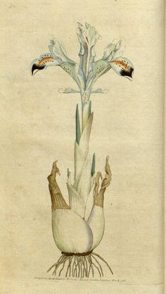 Iris Persica/Persian Iris, from The Botanical Magazine, or, Flower-Garden Displayed. by William Curtis.