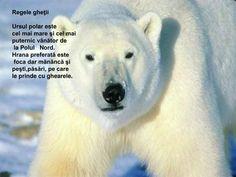 PPT - C ă l ă torie în zonele polare PROFESOR ÎNVĂŢĂMÂNT PRIMAR ŞI PREŞCOLAR TRIF MARIANA GABRIELA PowerPoint Presentation - ID:4755806 Polar Bear Video, Polar Bear Facts, Ursula, Fun Facts, Cool Pictures, Children, Walmart, Products, Mariana