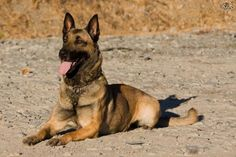 The Belgian Malinois is a dog with high energy levels and is very versatile. They can be awesome pets for very active families. They wont be entirely happy, unless they get their daily dose of exercise and is given a job to do. Because of their high trainability and intelligence, Malinois are used as police, military and home land security dogs. This breed excels at obedience, agility, Frisbee, herding, tracking and schutzhund. They don't really care what their job is, as long as they have…