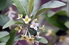 Silverberry | Sierra Vista Growers