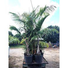 Real Palm Trees Bottle Bottlepalm Realpalmtrees Palmtrees Tropical Fresh Foliage Greenery Greenthumb Retail Whole Botanical Indoor
