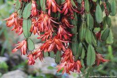 Découvrez le cactus de Pâques une plante d'intérieur qui présente quelques différences avec le cactus de Noël : ses fleurs sont en forme d'étoile.