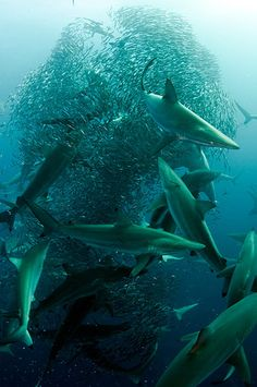 Dusky, blacktip and bronze whaler sharks make short work of an anchovy baitball in the ocean near Port St Johns, South Africa.