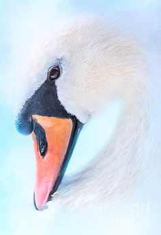 Animals Digital Art - Swan Portrait by Marco Fischer Bird Painting Acrylic, Swan Painting, Cute Wallpaper Backgrounds, Animal Wallpaper, Beautiful Birds, Animals Beautiful, Beautiful Swan, Famous Impressionist Paintings, Swan Drawing