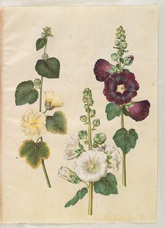 Alcea rosea, KKSgb2949/74