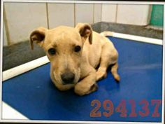 San Antonio, TX *Urgent! PAST DEADLINE on 5-20. To adopt, foster/ rescue email: placement@sanantoniopetsalive.org Pablo 294137 is a little scared but warms up quickly. He's a 3 month old Terrier blend who is so smart and cute and weighs aprox 10 lbs.  PLEASE ADOPT HIM NOW! https://www.facebook.com/photo.php?fbid=461553203947203&set=a.461544227281434.1073742428.236899813079211&type=1&theater
