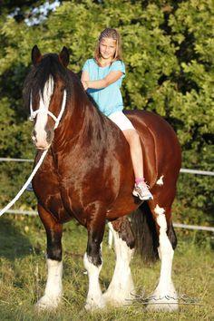Shire stallion Moorfield Huw