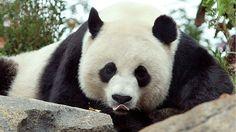 Two Chinese panda bears in the eye of a Belgian storm. #pandasbelgium #panda #pandas #belgium