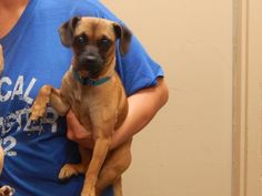ADOPTED - Rosebud - URGENT - PIKE COUNTY ANIMAL SHELTER in Pikeville, Kentucky - ADOPT OR FOSTER - Young Female Chihuahua Mix