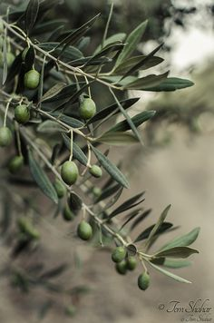 Guide To Growing Olive Trees Indoors-homesthetics