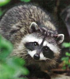 Raccoon - how can something this sweet-looking be so mean?