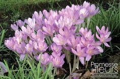 http:∕∕www.promessedefleurs.com∕floraisons-automnales∕colchiques∕colchique-hybride-the-giant-p-313.html - Le Colchique hybride The Giant, vivace vigoureuse fleurit à l'automne en octobre avec de grandes fleurs violet clair.