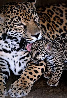 Jaguar mother and kitten.