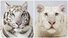 IdeaFixa » Closes raros de Tigres-de-Bengala