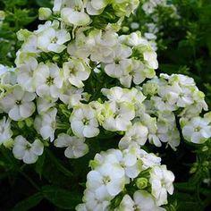 "Phlox paniculata 'Jade'~ 18-20""H x 18-20""W FSU"