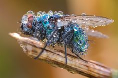 Dew bedecked bee: Photo by Photographer Martin Amm - photo.net