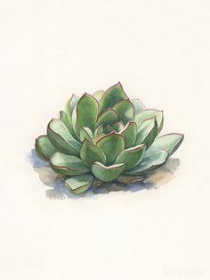 Echeveria pulidonis - Watercolor