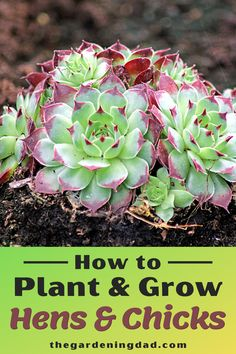 Cacti And Succulents, Planting Succulents, Easy Vegetables To Grow, Plant Crafts, Garden Of Earthly Delights, Inside Plants, Succulent Care, Hens And Chicks, Natural Garden