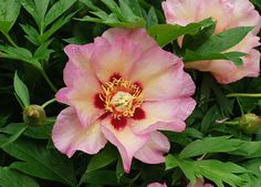 "Peony Pastel Splendor-  Creamy white with red flares, single, midseason, 33"" tall, intersectional/Itoh. The flower changes from pinks to yellows toward the unusual center."