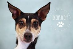 OH MY, you have to meet BARNEY!If you like smaller dogs, you will enjoy your meeting w/ him. He will capture your heart as he did ours when we met Barney. He is suspected to be about 3 yrs old-but undetermined. He is about 14 lbs.Likely a mixed...