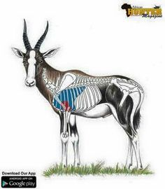 Blesbok Shot Placement Guide - Blesbok Hunting Tip: Male horns noticeably thicker and when viewed front-on, appear light in colour Africa Hunting, Boar Hunting, Hunting Tips, Hunting Stuff, Animal Games, African Animals, The Great Outdoors, Moose Art, Wildlife
