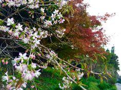 2014秋 城山公園にて 桜と紅葉