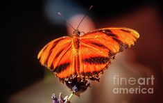 Orange Tiger Butterfly:  http://fineartamerica.com/profiles/robert-bales/shop/all/ all/all