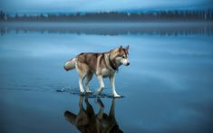 A husky walks on water in northern Russia. The image was taken after heavy rainfall covered the frozen lake.