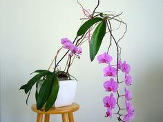 Overgrown Phalaenopsis Orchid Keiki