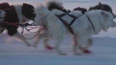 Dog Sledding in Yakutsk, Siberia Russia - Катание на собачьих упряжках в...