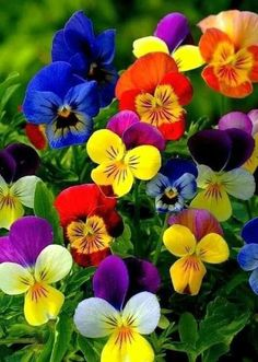 """Terrific Absolutely Free Pansies flowers Style Pansies would be the colorful flowers with """"faces."""" A cool-weather favorite, pansies are ideal f Flowers Nature, Exotic Flowers, Amazing Flowers, Pretty Flowers, Colorful Flowers, Spring Flowers, Purple Flowers, Fleur Pansy, Bloom"""