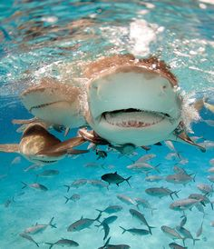 Lemon sharks are not thought to be a large threat to humans. Often found in shallow subtropical waters, they can grow to 10 feet.  They are found in open water primarily during migrations.  by SharkyJillian