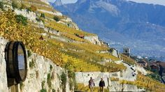 Image result for lavaux vineyard