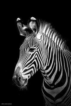 Spirit of Savannah b/w portrait | Grévy's zebra ( Equus grévy ) | Flickr - Photo Sharing!