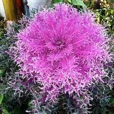Ornamental Kale and cabbage in the garden for a little extra something Exotic Flowers, Amazing Flowers, Beautiful Flowers, Ornamental Cabbage, Ornamental Plants, Shade Garden Plants, Fall Plants, Growing Flowers, Planting Flowers