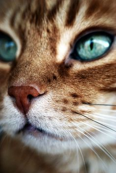 """In my world, the grass is green, the sky is blue and all cats are orange."" --Jim Davis (Creator of ""Garfield"") cats I Love Cats, Crazy Cats, Cool Cats, Cute Kittens, Cats And Kittens, Beautiful Cats, Animals Beautiful, Beautiful Pictures, Animals And Pets"