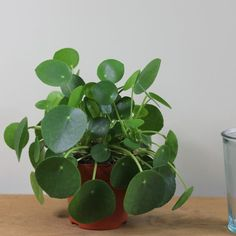 Buy Chinese money plant / missionary plant Pilea peperomioides - The Chinese money plant is one uber cool houseplant: Delivery by Waitrose Garden All Plants, Growing Plants, Indoor Plants, House Plants, Indoor Garden, Hanging Plants, Deer Resistant Perennials, Long Blooming Perennials, Air Cleaning Plants