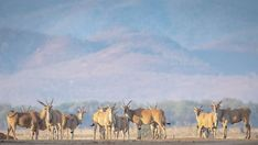 Impressive eland herd at Chikwenya Rift Valley, Wilderness, Safari, Beautiful Places, National Parks, Elephant, Africa, Painting