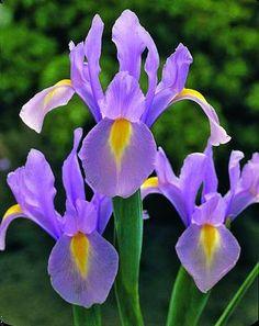 Iris 'Rosario' ('Rosario' Dutch iris)