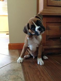 I don't care who you are, that's one cute puppy! LOVE boxers :)