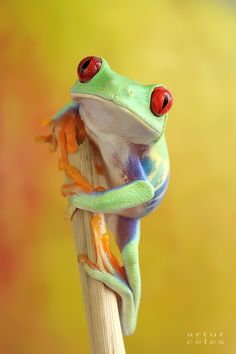 Red Eyed Tree frogs eat moths, crickets, and flies. Tree Frogs communicate by making vibrations on branches. Red Eyed Tree frogs are not poisonous.