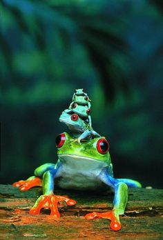Rainforest family of frogs