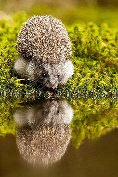Hedgehog reflection.  #hedgehogs #reflections #animals #wildlife #bokeh #photography