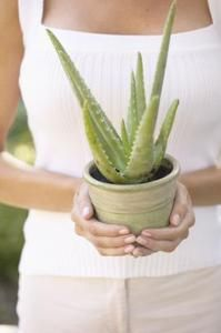 """""""A single aloe plant can produce multiple new plants each year."""" How to prune and replant your new aloe plant."""